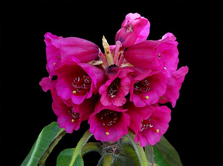 Red Rhododendron in Shingba Sanctuary, Yumthang - North Sikkim, India (Photographic Print - Unframed))