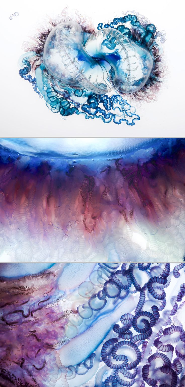 The Portuguese man o' war isn't actually a jellyfish but a siphonophore, made up of a colony of tiny specialized animals called hydroids.  They serve various functions such as feeding, defense, & reproduction. They have no propulsion system & depend on currents & wind for mobility in warm tropical & subtropical waters worldwide. Interesting NatGeo article. #sea #ocean #myt