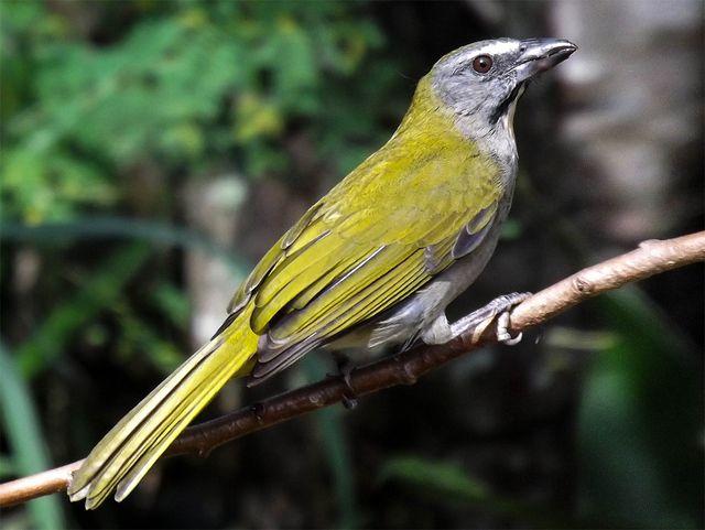 Foto tempera-viola (Saltator maximus) por Henrique Junior | Wiki Aves - A Enciclopédia das Aves do Brasil