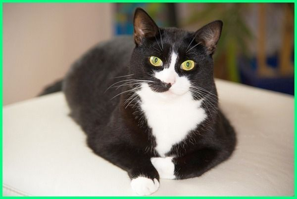 Nama Kucing Betina Yang Bagus Lucu Dan Keren Dengan Gambar Kucing Betina Kucing Hitam Kucing
