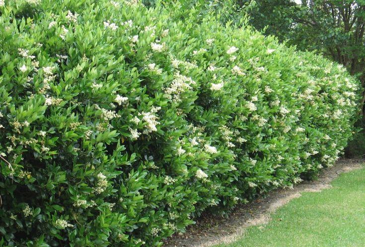 japanese or wax privet shrub ligustrum japonicum zones 7 10 height 11 20 spread 6 10. Black Bedroom Furniture Sets. Home Design Ideas