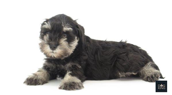 #Cachorro de #Schnauzer miniatura negro-plata #DOGKINGStCugat.   Cuando son adultos estos #perros son compactos y #musculosos. Tienen barba larga, cejas pobladas y pelo largo en las patas.