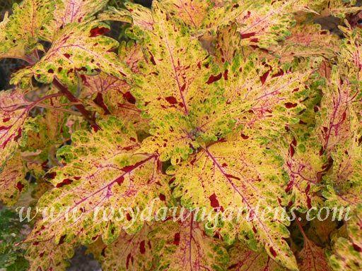 Serenade - Rosy Dawn Gardens