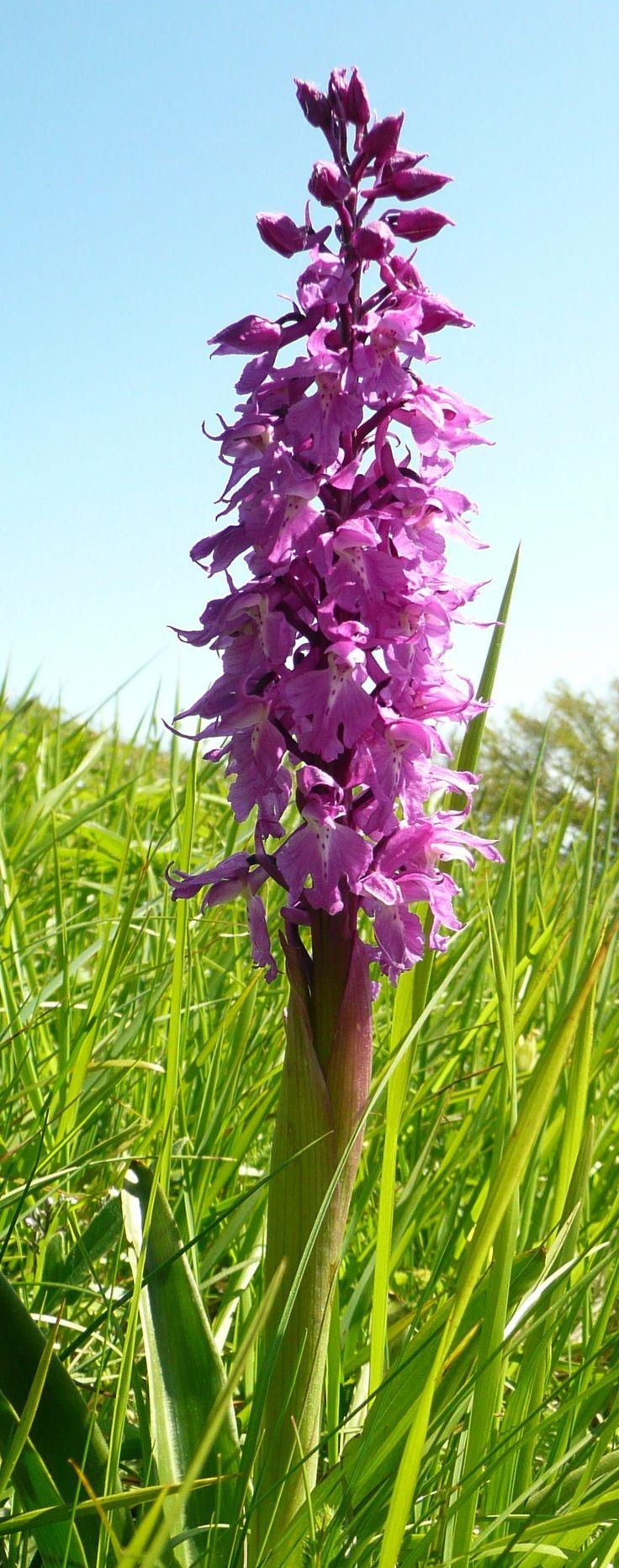 Orchis mascula - M.Nerone - Marche