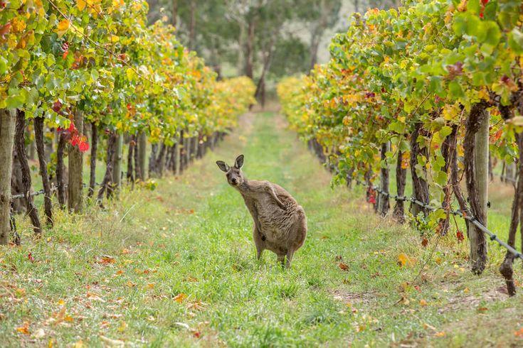 Nicht weit von Perth liegt der Südwesten mit den kleinen Städtchen Margaret River, Denmark und Albany. Der Südwesten ist eine unserer Lieblingsregionen in ganz Australien. Ihr findet hier weltklasse Weine und fantastisches Essen, großartige Surfspots für Anfänger und Profis, atemberaubende Wälder und unberührte Strände. Im Winter und Frühjahr könnt ihr vorbeiziehende Wale beobachten und im…  Weiterlesen