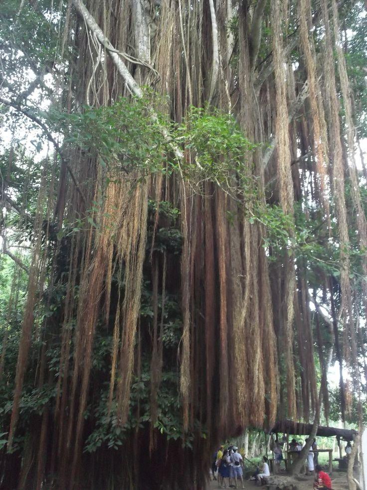 Árbol gigante.