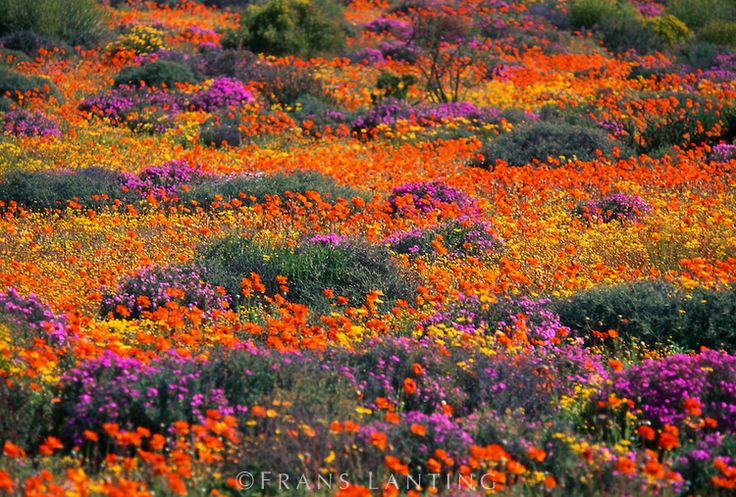 Flowering namaqua daisies, Asteraceae family, Goegap Nature Reserve, Namaqualand, South Africa