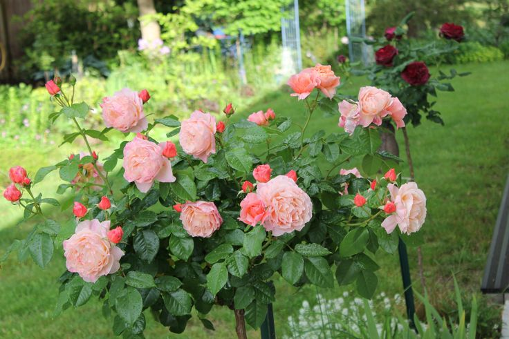 plus de 25 id es uniques dans la cat gorie rosier tige sur pinterest roses roses rosiers et. Black Bedroom Furniture Sets. Home Design Ideas