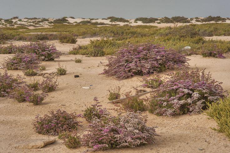 Bushes of Sea lavender (Qetaif, Limonium axillare) on a beach of Umm Tays Island in Madinat Al Shamal area. Qatar