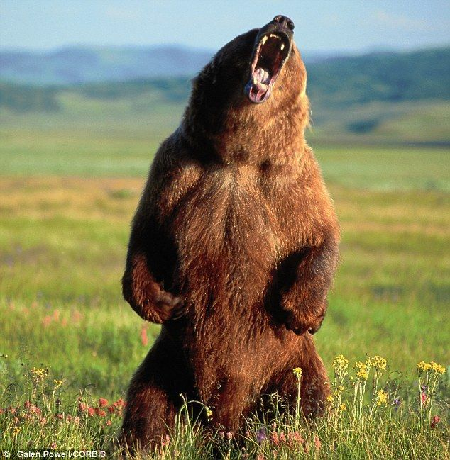 angry bear...// OR... LUCY!!! I'M HOME!!! OR... WILMA!!! OR... POW!!! ALICE, RIGHT TO THE MOON!!!