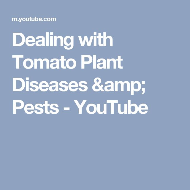 Dealing with Tomato Plant Diseases & Pests - YouTube
