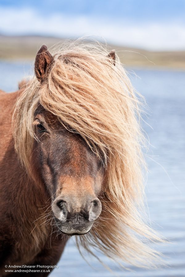 Shetland Pony by Andrew J Shearer, via 500px