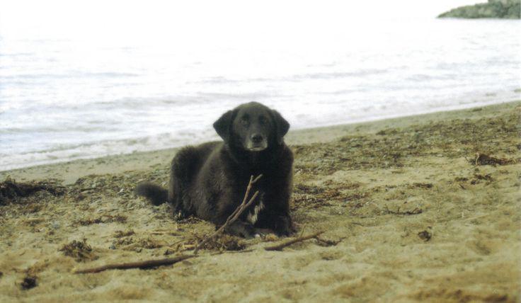 #dogs #beach #blacklab #film #pentax MADDY HOPE 2013