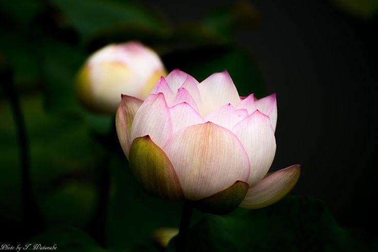 Higashisumiyoshi-ku, Ōsaka-fu, Japanで撮影された写真 花開く : パシャデリック