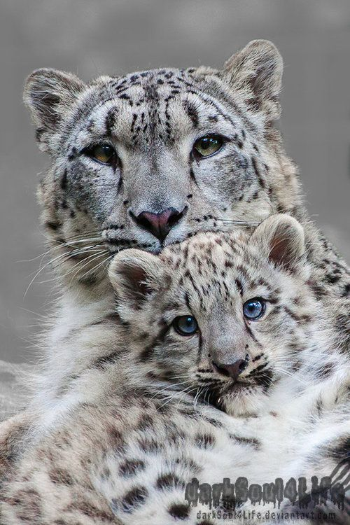 Leopard snow Mother and Son