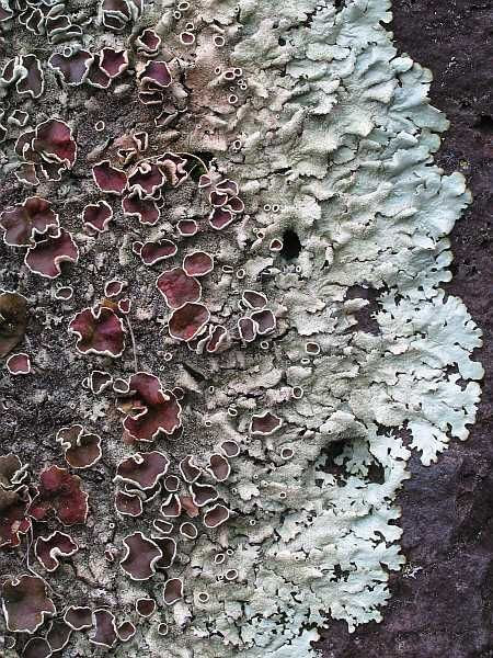 Lichens (pron.: /ˈlaɪkən/,[1] sometimes /ˈlɪtʃən/)[2] are composite organisms consisting of a fungus (the mycobiont) and a photosynthetic partner (the photobiont or phycobiont) growing together in a symbiotic relationship. The photobiont is usually either a green alga (commonly Trebouxia) or cyanobacterium (commonly Nostoc).[3]