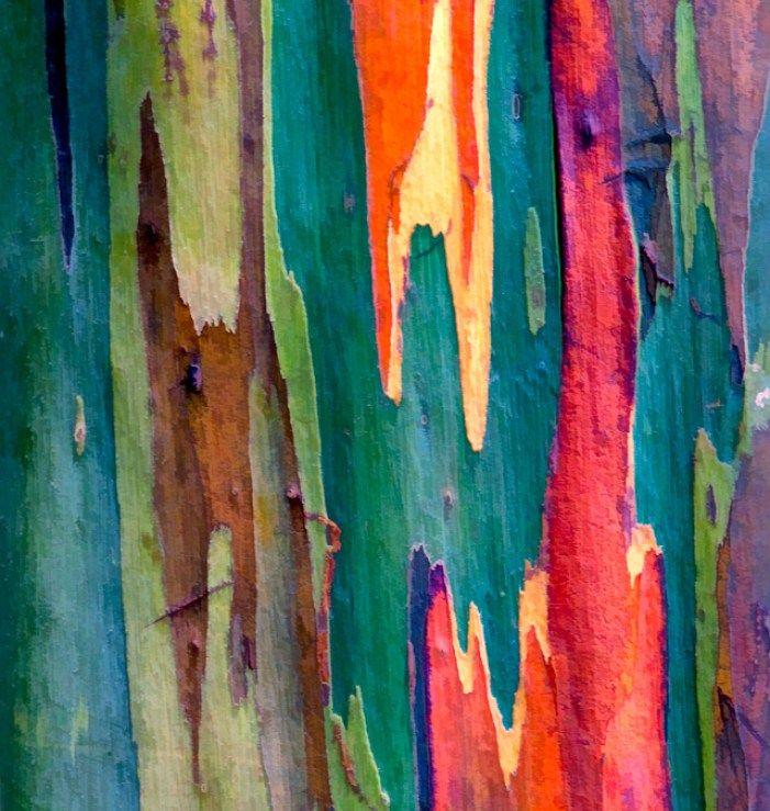 Eucalyptus deglupta: l'albero arcobaleno