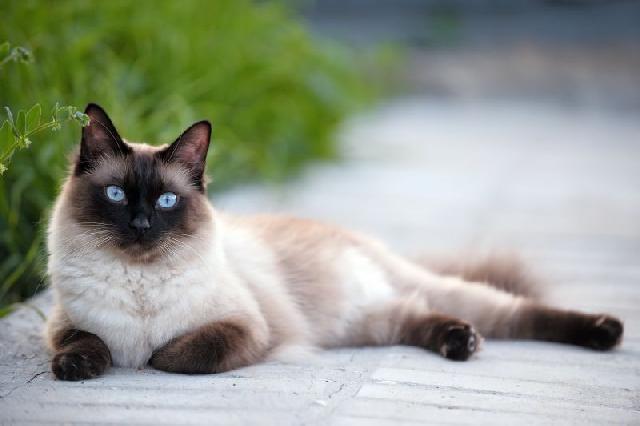 gatos-siameses