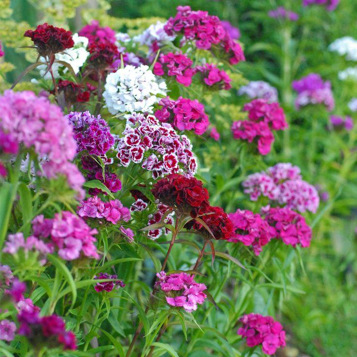 Dianthus barbatus 'Mixed' (Garden Ready)   Sweet William makes a gorgeous cut flower