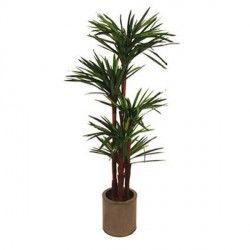 La yucca, appartenente alla famiglia delle Agavaceae, è una pianta che richiede poca cura ed è molto resistente. Indicata per uffici, inaugurazioni di nuove attività ma anche per compleanni, onomastici ed anniversari.