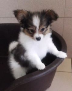 Conte Max del lago maggiore papillon puppy                              …  For More Pet Gifts: http://www.damniwantit.net/category/pets/