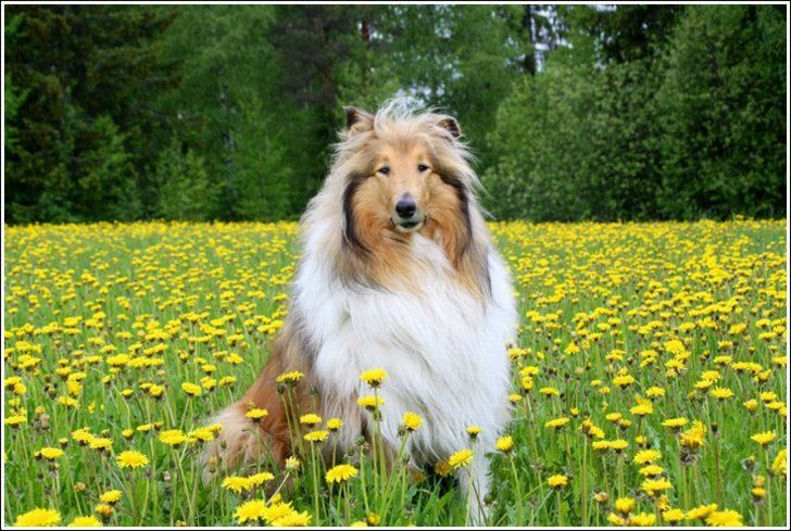 Rough Collie Rough Collie Collie Herding Dogs