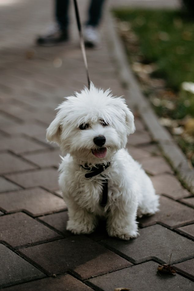 Bichon Frise In 2020 Hunde Rassen Hundebilder Bichon Frise