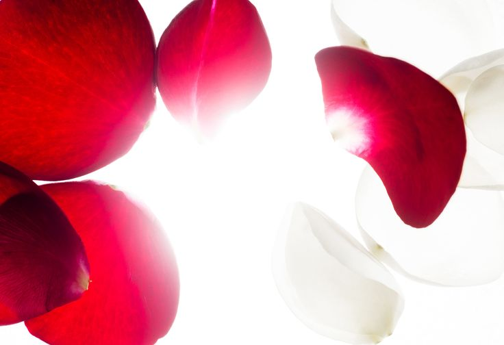 Wild Rose #art