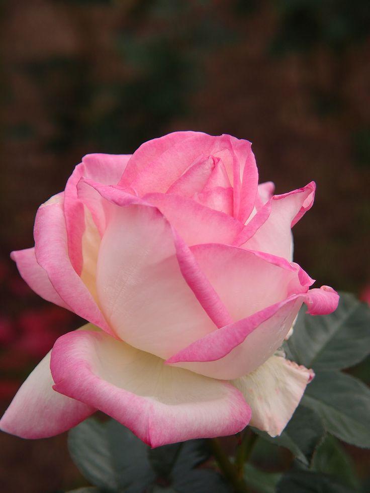 25 best princess de monaco rose images on pinterest for Rosier princesse d orient