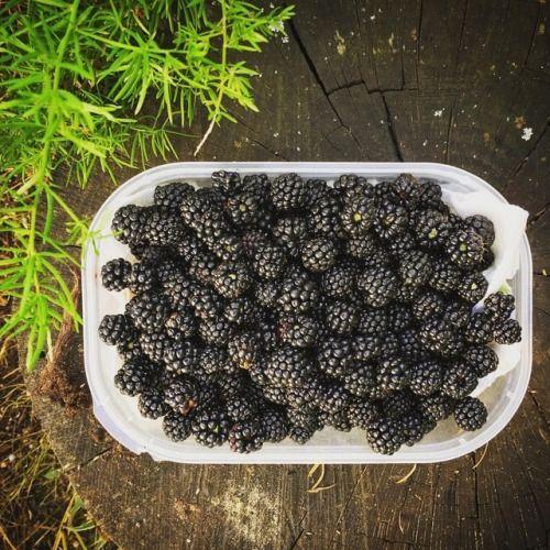 500 gramos de moras silvestres recolectadas después de una... de http://ift.tt/2xflYEh