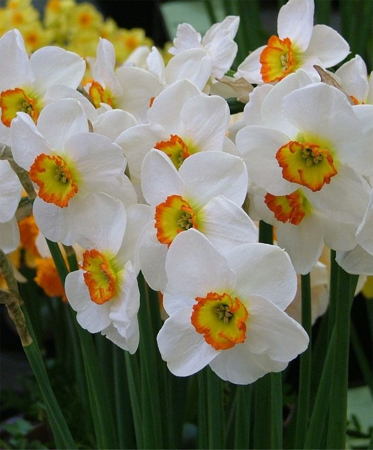 1070 best jaro images on pinterest spring flowers beautiful narcissus merlin small cupped narcissi flower bulbs index mightylinksfo Gallery