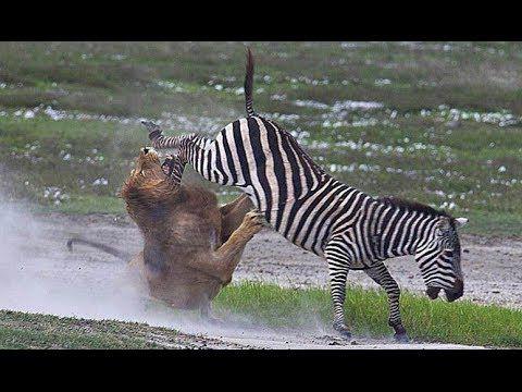 Битва зебр за жизнь.