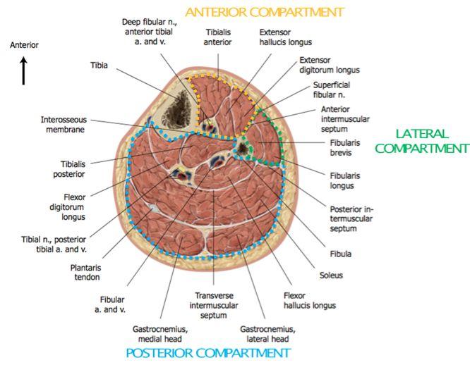 Image result for tibial nerve anatomy