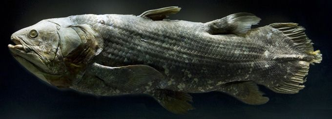 Preserved adult coelacanth or Latimeria chalumnae, SAIAB 34464, from the Comoros. This specimen is on loan to the National Museum of Natural History, from the South African Institute of Aquatic Biodiversity (SAIAB) and is currently on display at the NMNH Ocean Hall exhibit.