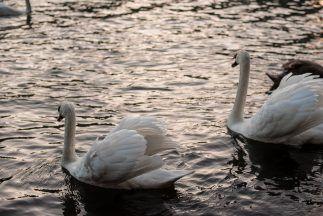 Swan, Lyon France