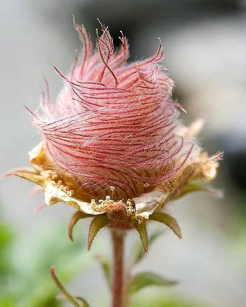 A flor de um tipo de rosídea (Geum reptans) é muito bonita e rara. Encontrada apenas no alto das montanhas dos Alpes na Europa.