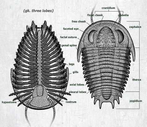 There have been over 20,000 different species of trilobite discovered. They exhibit numerous anatomical adaptations that helped them survive in almost every niche of the marine environment. Because of their wide variety and distribution over such an extensive period of time, trilobites have become the most important index fossil for evolutionary biologists.
