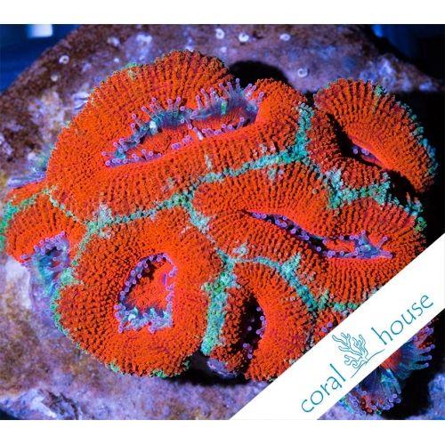 Ultra Acanthastrea Sp. RED WYSIWYG