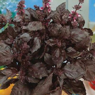 Busuioc rosu Chianti este indragit ca si condiment aromat si decorativ.