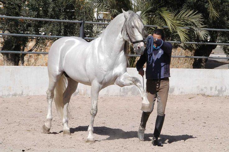 Purebred Spanish Horse   The authentic Purebred Spanish Horse