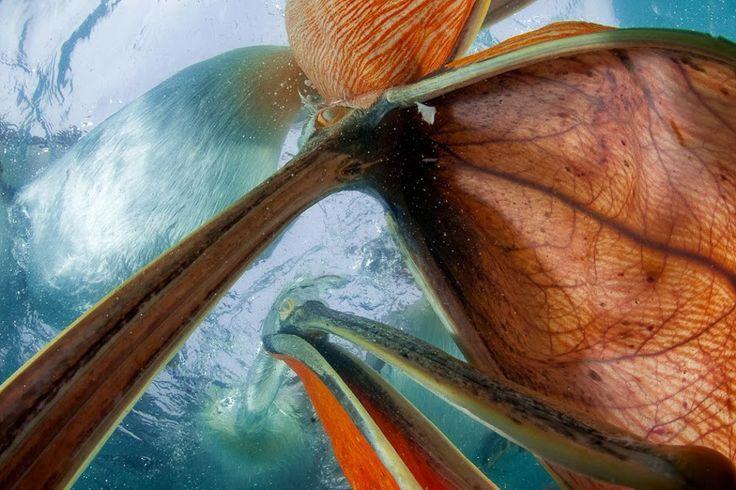 Élet a vízfelszín alatt kategória, első díj - Máté Bence: Halperspektíva. Borzas gödények a víz alatt