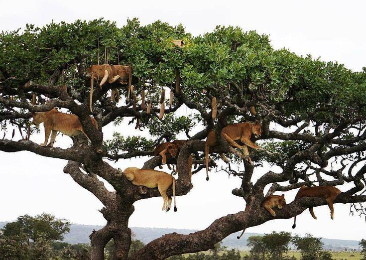 Lion Hotel in the Serengeti! Experience Tanzania with #wildographer & photosafari guide @paulonsafari. #enquiretoday ・・・ #Wildography #WildographyandSafaris
