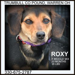 Roxy IN FOSTER TO ADOPT is an adoptable Beagle Dog in Warren, OH. Roxy is a sweet little girl....a real cutie pie. She is about 10 months old, and weighs around 26 lbs. Available 7.22.13. WENT TO F...