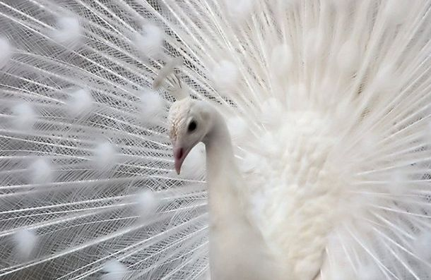Peacock -White peacocks are not albinos; they have a genetic mutation that is known as leucism, which causes the lack of pigments in the plumage
