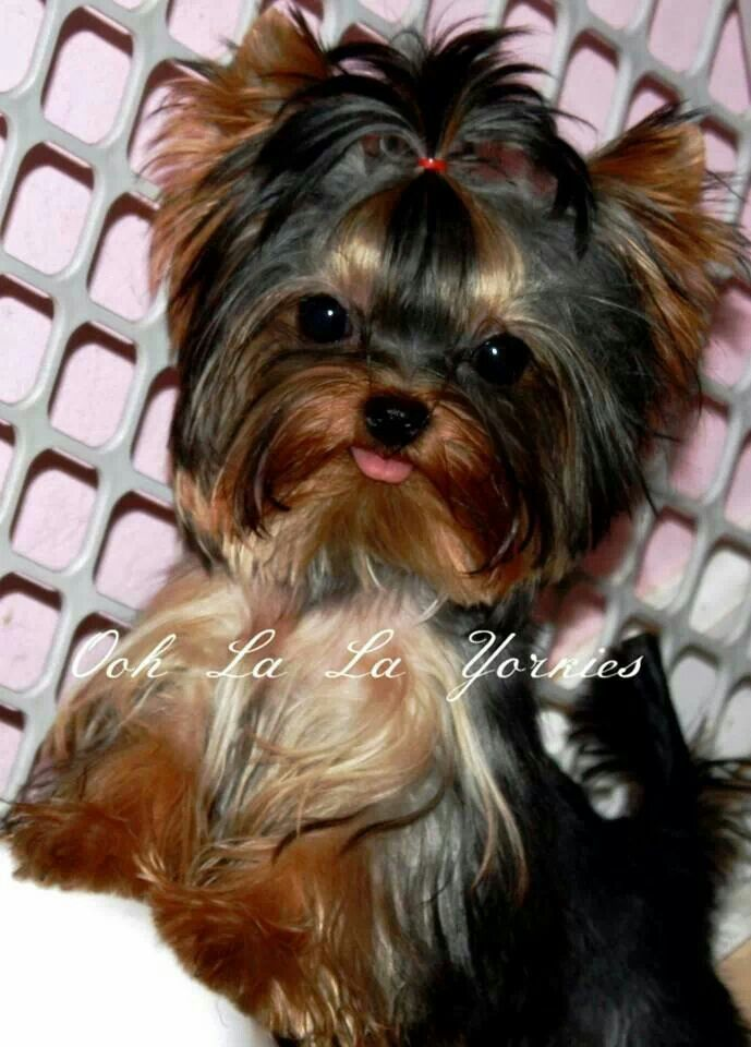 yorkie faces 280 best images about yorkies on pinterest 3781