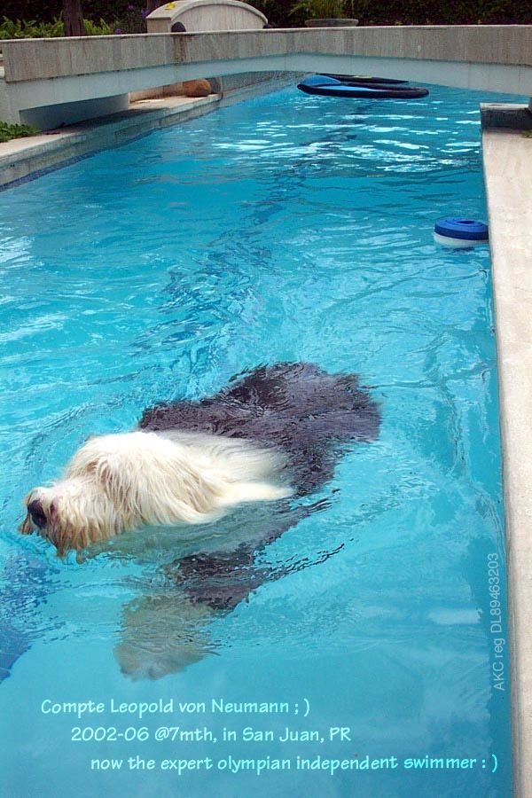 Baby Bobtails/OES/English Sheepdog ; ) • Compte Leopold von Neumann • born 2001-11-03 at 7mth 2002-06 • had to fly 3 airplanes(!) from Wash. state to San Juan, PR Mar15 – so here, enjoys the non-confinement & wet & wild La Vida Loca of San Juan's heavenly tropical La Villa Delphina – exercising his lanes! ; ) – from water virgin (thanks to Washington) to Olympian swimming expert (thanks to mom in San Juan) in 24hrs! ; )