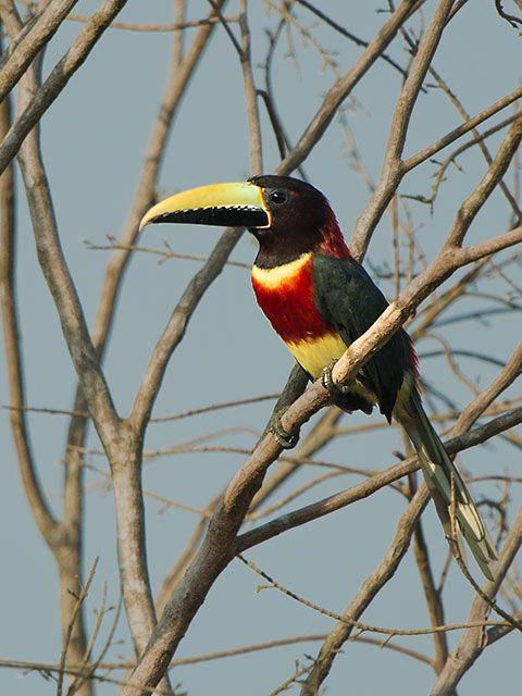 Foto araçari-de-pescoço-vermelho (Pteroglossus bitorquatus) por Sergio Gregorio | Wiki Aves - A Enciclopédia das Aves do Brasil