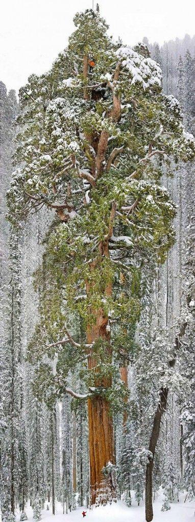 """. Sierra Nevada hegyvidékén a Sequoia Nemzeti Parkban magasodik a gyönyörű óriás mamutfenyő, mely az """"Elnök"""" nevet kapta."""