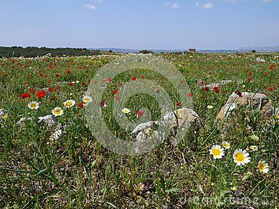 Red poppies and chrysanthemums in the field.