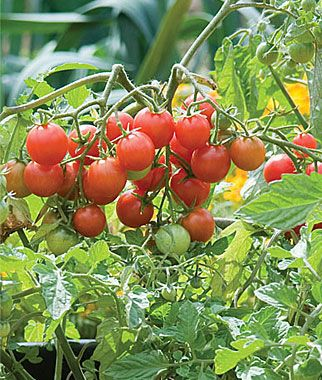 The Sweetheart of the Patio is another variety that is perfect for containers on a balcony, or deck. Another compact plant that produces one inch tomatoes, bursting with super sweet juiciness.The 10 Best Tomatoes for Containers | Veggie Gardener